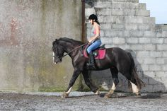 All That Jazz 15.2 2012 Irish cob gelding, will make super show cob. #loveirishhorses #horseforsale VIDEO: https://www.youtube.com/watch?v=_tM_8O9peZE Call James +353833168366