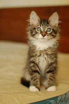 so cute - maine coon
