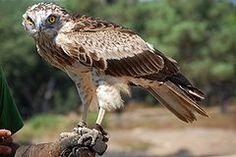 Águia-cobreira