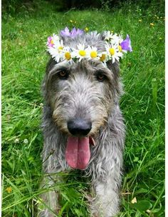 Irish Wolfhound with floral crown.