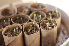faire germer graines dans support bio dégradable rouleau papier toilette