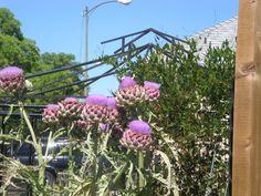 Artichoke flower - flor de alcachofa Artichoke Flower, Plants, Flower, Artichokes, Plant, Planting, Planets