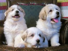 Great Pyrenees puppies. I'll take two.  (But WHICH two would you choose?)