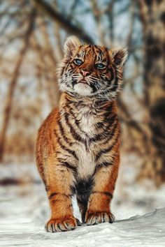 souhailbog:  Tiger Cub - Im big By Harry Schindler | More Love it! Xo