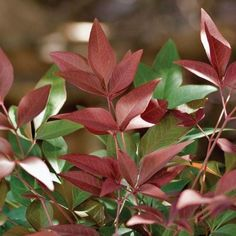 Southern Living Plant Collection 1 gal. Nandina Obsession-4314Q - The Home Depot