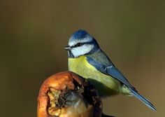 blue tit. photo by Mark Hughes.
