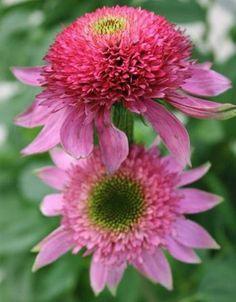 Rudbeckia pourpre 'Catharina' Echinacea purpurea