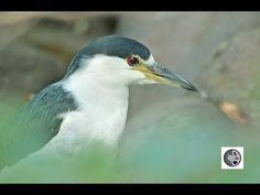 DANS LA NATURE Ep.29: Bihoreau gris à la pêche Nature Sauvage, Wild Nature, Heron, Wilderness, Fishing, Canada, Night, Friends, Videos