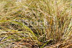 Tussock Grass Background Royalty Free Stock Photo Grass Background, Abstract Photos, Image Now, Simply Beautiful, New Zealand, Royalty Free Stock Photos, Yellow, Plants, Photography