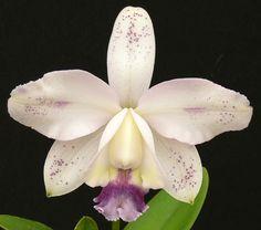 Cattleya - intermedia var. coerulea 'Haneda' x self