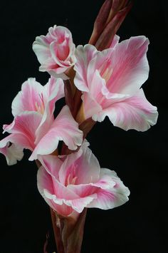 ~~sword orchid (gladiolus) by I love orchids! This picture is especially stunning.~~sword orchid (gladiolus) by I love orchids! This picture is especially stunning. Exotic Flowers, Amazing Flowers, My Flower, Pink Flowers, Beautiful Flowers, Pink Orchids, Beautiful Gorgeous, Gladiolus Flower, Gladiolus Bulbs