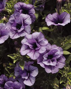 If you can't tell by the name, Supertunia Priscilla is one of our 'fancier' bloomers, with two layers of lavender flowers with purple veining. If you are looking for something unusual in your favorite color purple this might be the one for you! http://emfl.us/vSEd
