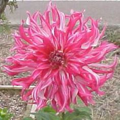 S R Lee dahlia photo from Homestead Dahlias