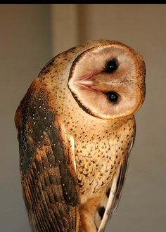 Barn Owl- a pair of these live and hunt in my neighborhood, I've seen them both together several times.Barn Owl- a pair of these live and hunt in my neighborhood, I've seen them both together several times. Beautiful Owl, Animals Beautiful, Cute Animals, Owl Photos, Owl Pictures, Mundo Animal, Owl Art, Pretty Birds, Cute Owl