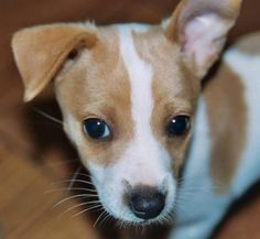 Sophie Jean the Rat Terrier Pictures 8203