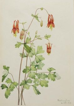Mary Vaux Walcott, 1860-1940. American Columbine (Aquilegia canadensis), 1919, watercolor on paper, 10 x 7 in. (25.4 x 17.9 cm). Smithsonian American Art Museum.