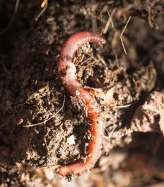 Worm farming is a great way to maintain a constant source of homemade fertilizer. Here are some cheaper ways to set up a worm farm.