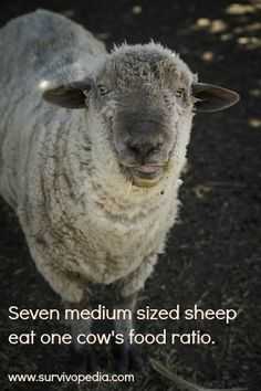 Raising Sheep for Survival