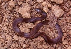 Virginia valeriae; Smooth Earth Snake There is a snake named after me or I am named after it!  Pretty cool little creature.