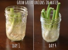 Grow green onions in water! Green Onions Growing, Growing Plants, Recycled Kitchen, Kitchen Waste, Fresca, Kitchen Hacks, Kitchen Stuff, Celery, Compost