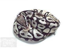 Axanthic Pastel Spotnose - VPI Line - Morph List - World of Ball Pythons