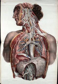 Autonomic nerves of the face, neck, thorax and abdomen by Nicolas Henri Jacob from 'Traité complet de l'anatomie de l'homme' by Marc Jean Bourgery, to show branches of the trigeminal nerve (cranial nerve V), glossopharyngeal nerve (cranial Body Anatomy, Anatomy Drawing, Anatomy Art, Human Anatomy, Anatomy Images, Anatomy Illustration, Science Illustration, Medical Illustration, Medical Drawings