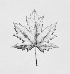 Drawing flowers & mandala in ink h drawings, pencil drawings Fall Drawings, Art Drawings Sketches, Maple Leaf Drawing, Autumn Leaf Drawing, Leaves Sketch, Landscape Pencil Drawings, Natur Tattoos, Time Tattoos, Botanical Drawings