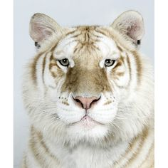 Muktan, a two-year-old male, one of only 30 golden tabby Bengal tigers left in the world. ° - In pictures: The four faces of the Bengal tiger Beautiful Cats, Animals Beautiful, Cute Baby Animals, Animals And Pets, Wild Animals, Big Cats, Cats And Kittens, Regard Animal, Gato Grande