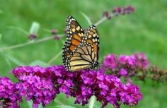 Our How to Build a Fall Butterfly Garden workshop returns on October 13th at 6:00pm! Horitculturist and butterfly enthusiast Kirti Mathura educates guests on which plants best attract butterflies to fall butterfly gardens. Receive free seed packets and a list of plants available at our upcoming plant sale. Pre-registration required; call (480) 800-3000, ext. 210 to reserve http://butterflywonderland.com/event-calendar/