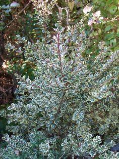 Myrtus communis 'Variegata'