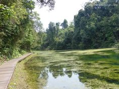 Chemperai Walking Trail MacRitchie Reservoir Singapore