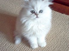 Someday I will own a silver chinchilla Persian.