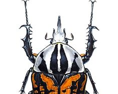 Mecynorrhina oberthuri blank beetle insect natural history Coleoptera entomology blankcard, artists own work, Scarab, entomology card. Beetle Insect, Duck Art, Beetles, Paper Texture, Blank Cards, Watercolor Print, Natural History, Giclee Print, Bugs