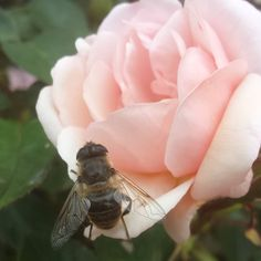 The #bees just love my #roses and garden. #mells #palepink #busybee #cottagegarden #gardenflowers
