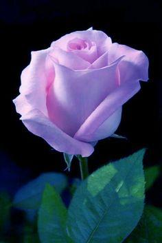 Blooming rose - My site Beautiful Flowers Wallpapers, Beautiful Rose Flowers, Pretty Roses, Flowers Nature, Exotic Flowers, Amazing Flowers, Pretty Flowers, Beautiful Beach, Purple Roses