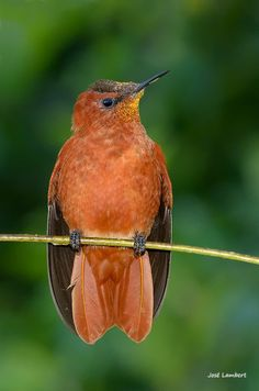 The Juan Fernández firecrown (Sephanoides fernandensis) - fernandezik wyspowy - Jaun Fernandez Firecrown CR Birds 2, Small Birds, Colorful Birds, Love Birds, Beautiful Birds, Pet Birds, Wild Birds, Juan Fernandez, Starling