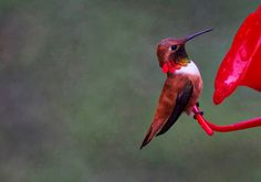 robinlamb1 posted a photo:  A Rufous Hummingbird (Selasphorus rufus) looking bright and shiny in his Spring Colours. Presious jewels in our natural world