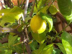 Mi primer limon