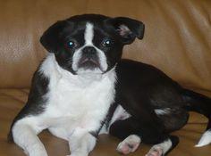 Boston Chin   Boston Terrier / Japanese Chin Hybrid Dogs