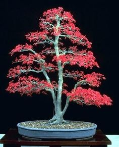 Japanese Red Maple 'Bamboo Leaf' -  5 Seeds Seeds and Things http://www.amazon.com/dp/B000SKS8JM/ref=cm_sw_r_pi_dp_pggnvb1VN095E