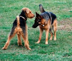 This can be tough to spot, as some behaviors — chasing, jumping, mouthing and growling — can be signs of both play and aggression. Trainer Mikkel Becker explains how to tell the difference.
