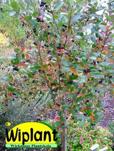 Påympad Hugin-aronia, Aronia melanocarpa 'Hugin', här med en stam på 100 cm. Denna aronia har smalare blad än bäraronian. Själva bären är också mindre och ännu blankare i svartfärg. Fin orange höstfärg (börjar anas på bilden). Liten växt på ca 120-170 cm. Ympad på vanlig rönn är det ett härdigt och stadigt småträd.