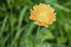 Close Common Marigold Leaves Nature - Stock Photo , #Ad, #Marigold, #Common, #Close, #Leaves #AD