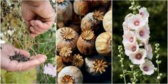 Discover the delights of saving seed from your garden to sow for a brilliant display next year• Find out how to gather and plant seeds, including when to harvest and how to store them once … Free Plants, Buy Plants, How To Store Seeds, Burpee Seeds, Rose Campion, The Tiny Seed, Garden Netting, Plant Cuttings, Food Photography Tips