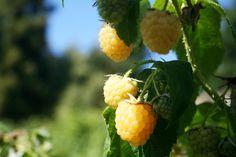 Champagne Raspberries in the Kitchen Garden at Gravetye Manor