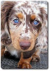 prettiest dapple dachshund i have ever seen. my next dachshund will be a long hair :)