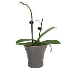 is this orchid dead or resting? Learn how to repot, help orchids rebloom, etc. T… is deze orchidee dood of Phalaenopsis Orchid Care, Orchid Plant Care, Orchid Plants, Air Plants, Indoor Plants, Orchid Care After Flowering, Potted Plants, Indoor Cactus, Orchid Roots