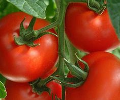 Show this to dad...(Tips on How To Grow The Perfect Tomato)