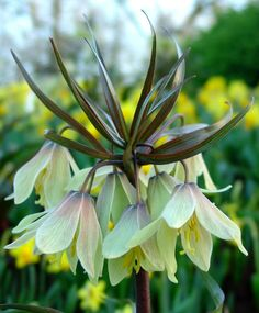 Fritillaria raddeana - Fritillaria - Flower Bulb Index