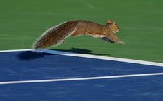 A squirrel runs onto the court at the 2012 US Open tournament in New York